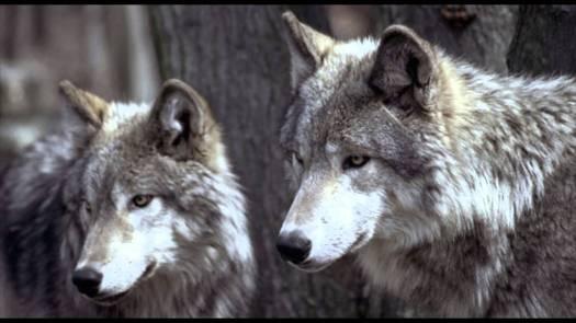 lobos 2