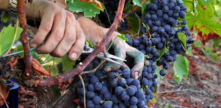 poda de la uva